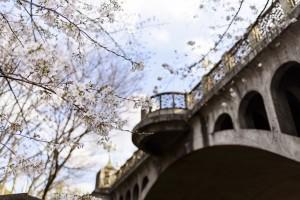 王子・音無橋と桜  撮影:永田まさお