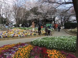 飛鳥山の桜と花畑  撮影:武藤久登